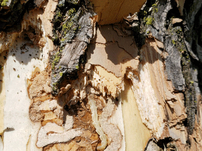 Emerald Ash Borer tunnels in an ash tree