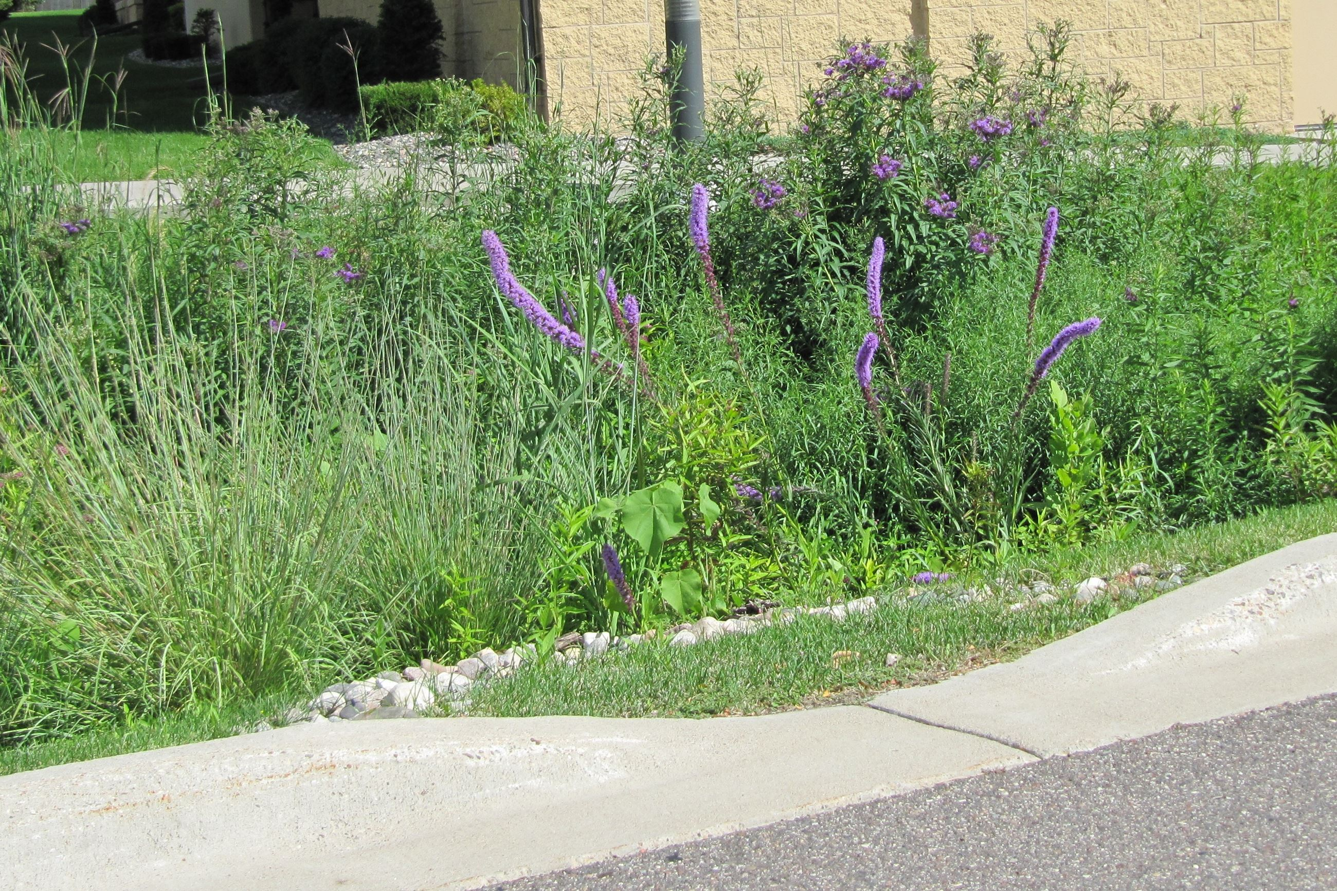 Rain garden with liatris